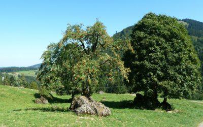 Mittwoch: Wanderung Einheimische Bäume-Mittelpunkt und Kraft unserer Kulturlandschaft